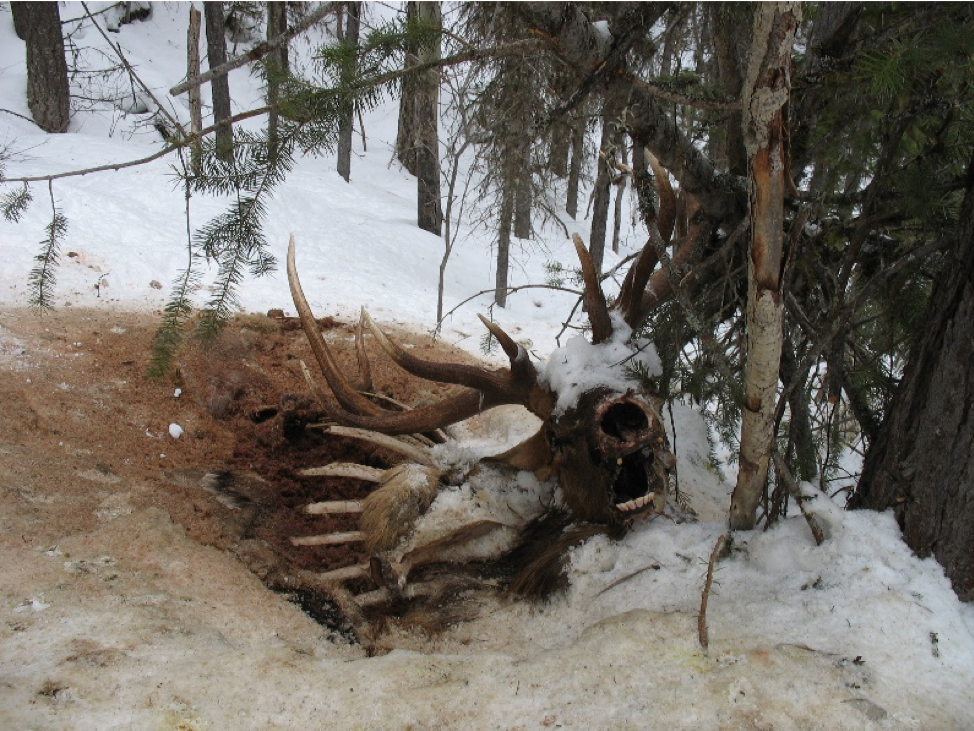 A dead 6x6 bull elk that a wolverine was scavenging.
