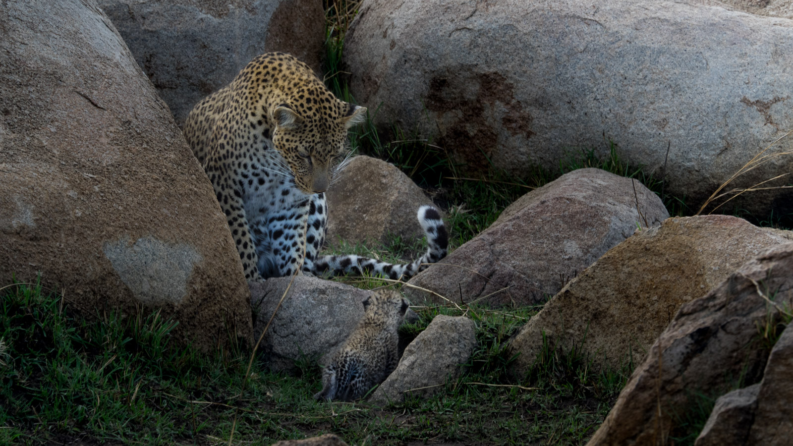 Leopard Looks Over Her Baby Cub