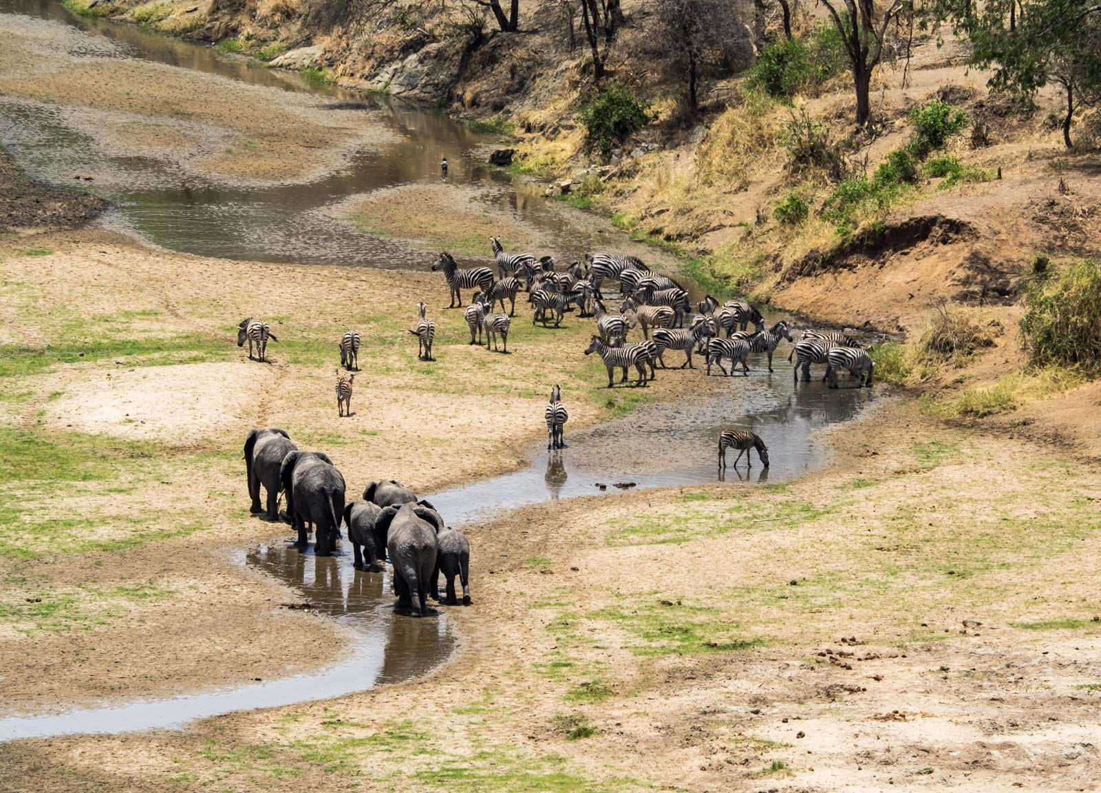 Elephants and Zebra at Tarangire River