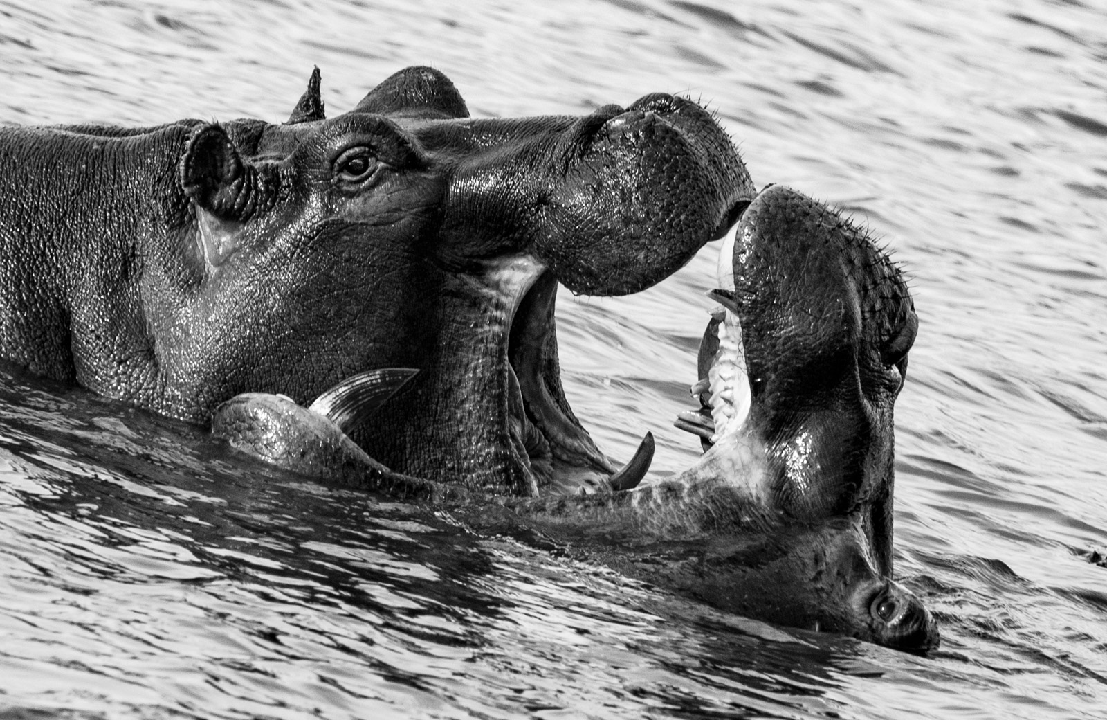 Hippos Play-Fight at Ngorongoro Crater