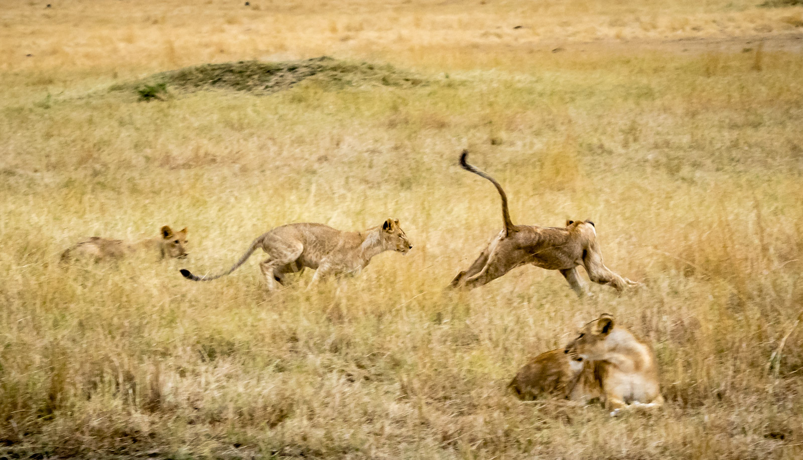 Young Lions Practicing the Hunt