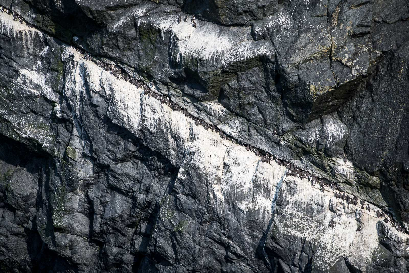 Guillemots and Razorbills nesting on a cliff ledge near the  Tunnel. Nikon D500 70-200mm f2.8 at 200mm. 1/1250sec f3.5 ISO 140