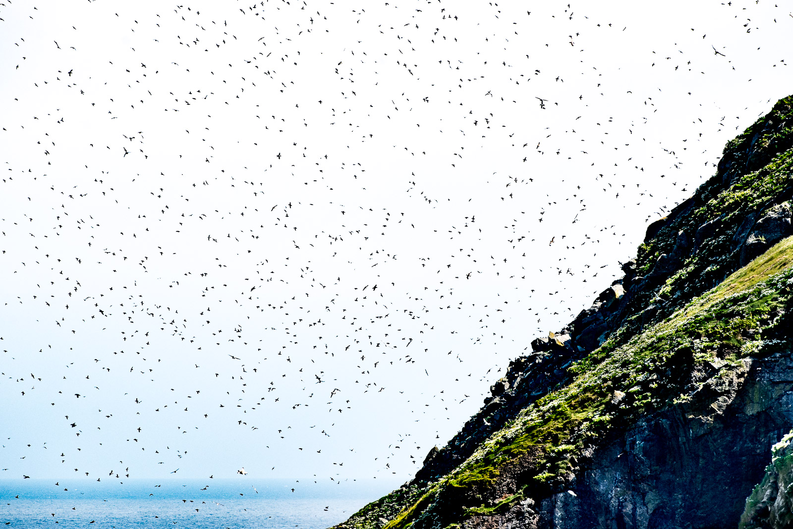 Puffins and Other Seabirds Circulating above Dun.  Nikon D810 500mm f4. 1/2000sec f8 ISO 560