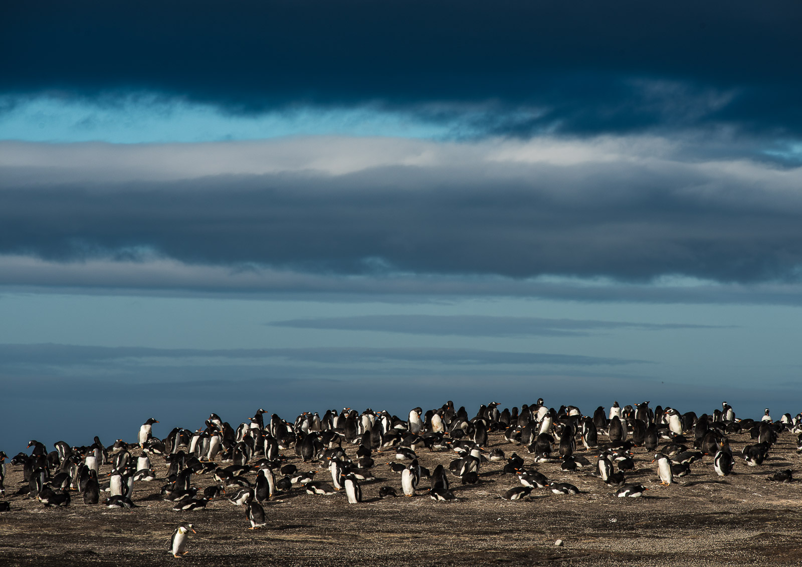 A gentoo rookery on The Neck at twighlight.  Nikon D810 300mm f4; 1/200sec f10 ISO 64