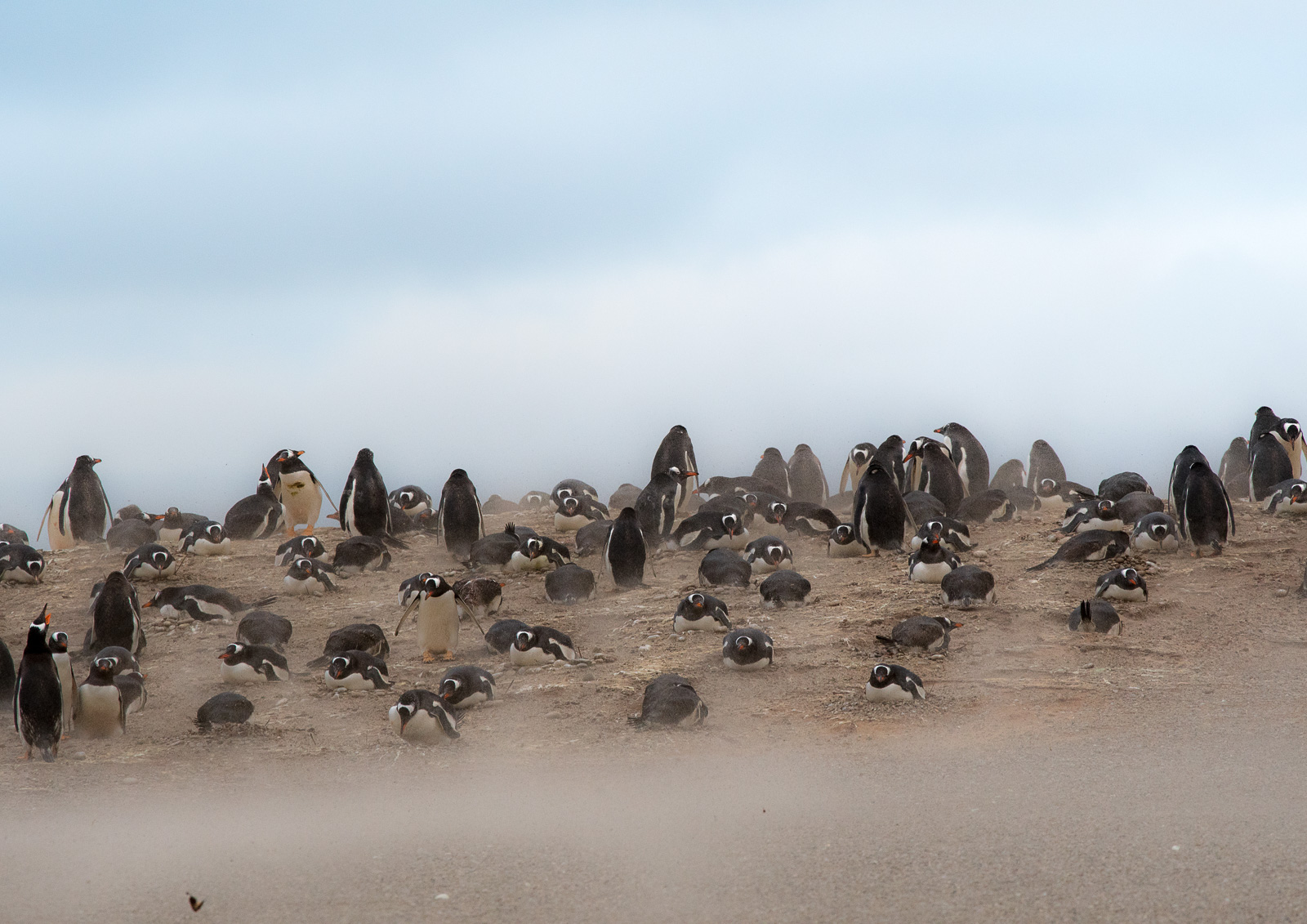 Gentoos appear unmoved by the battering sandstorm.  Nikon D500 300mm f4; 1/400sec f7.1 ISO 1000