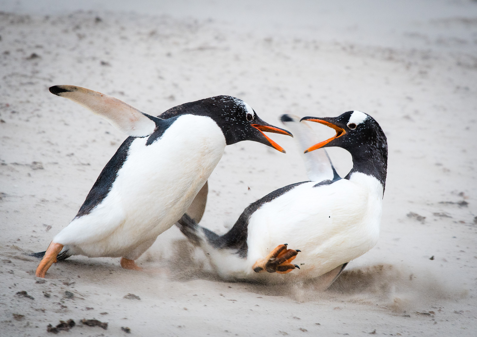 DUELLING PENGUINS: This was probably the most effective shot of the sequence, dramatic, free from distractions and sufficiently sharp to stand alone.  Nikon D500 300mm f4; 1/320sec f6.3 ISO 1000   Duelling Penguins  was shortlisted for  NHM Wildlife Photographer of the Year 2017  award.