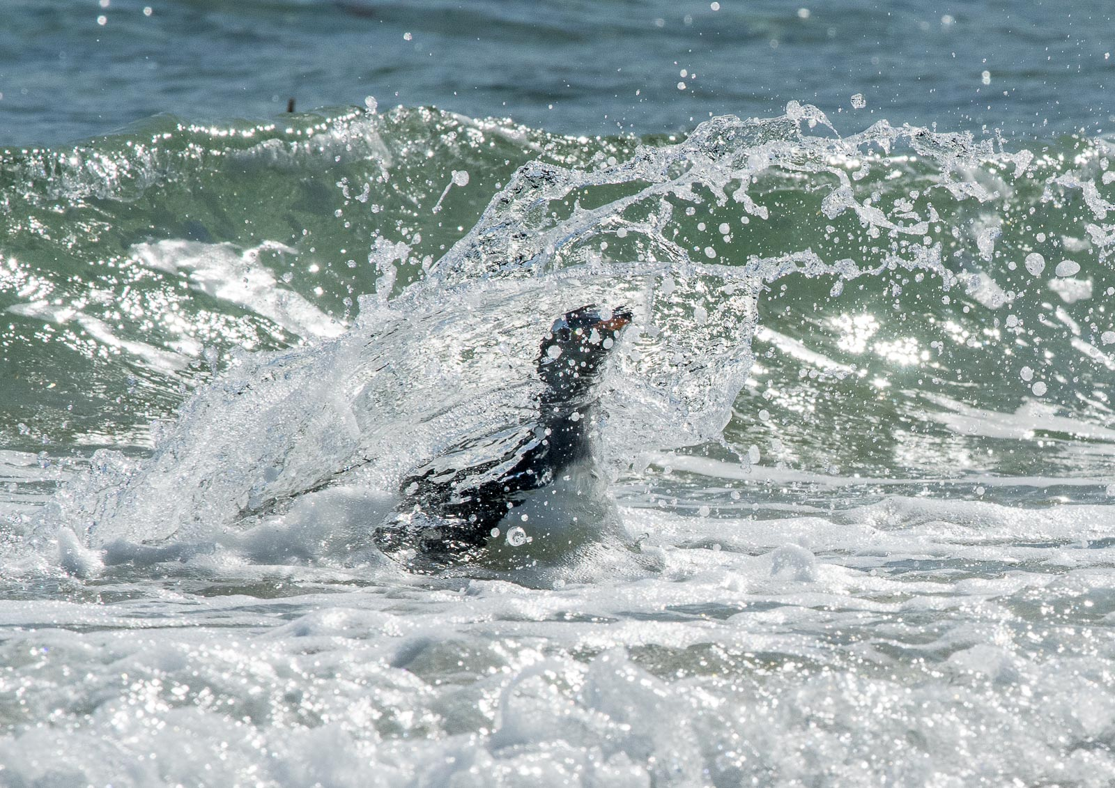 This gentoo arrives on the beach by crashing though the surf.  Nikon D500 300mm f4; 1/3200sec f11 ISO 800