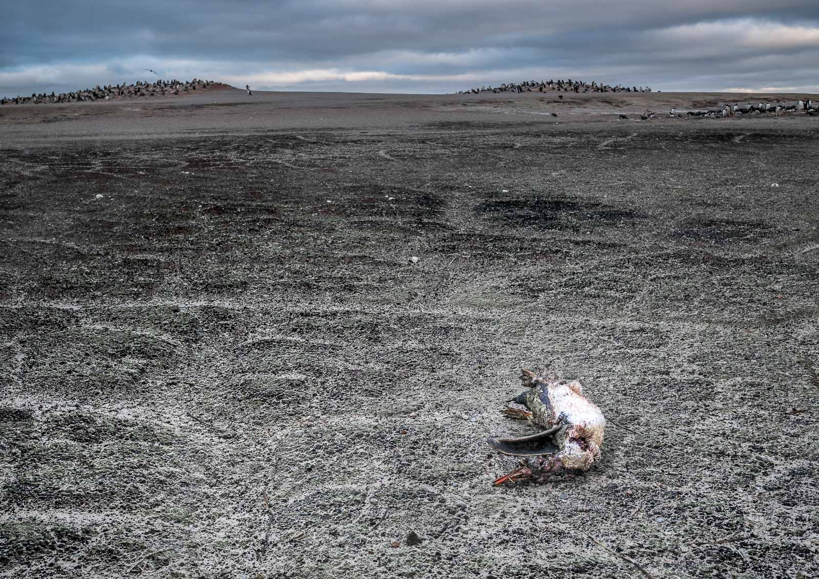 A vulture-pecked, decaying penguin carcass lies on the sand dunes of The Neck. Gentoo rookeries can be seen in the background.  Lumix GM5 12-32mm f3.5-5.6 at 21mm; 1/160sec f4.7 ISO 400