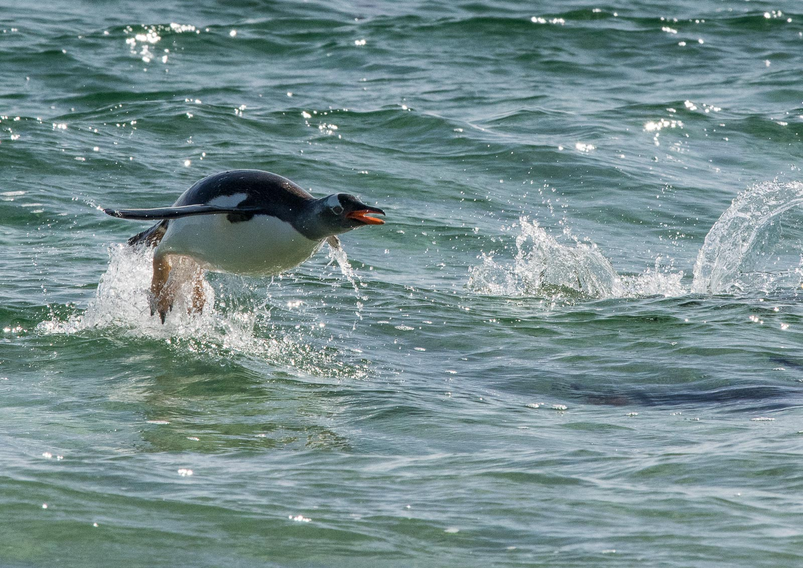 The closest I got to a flying penguin.  Nikon D500 300mm f4; 1/2500sec f14 ISO 800
