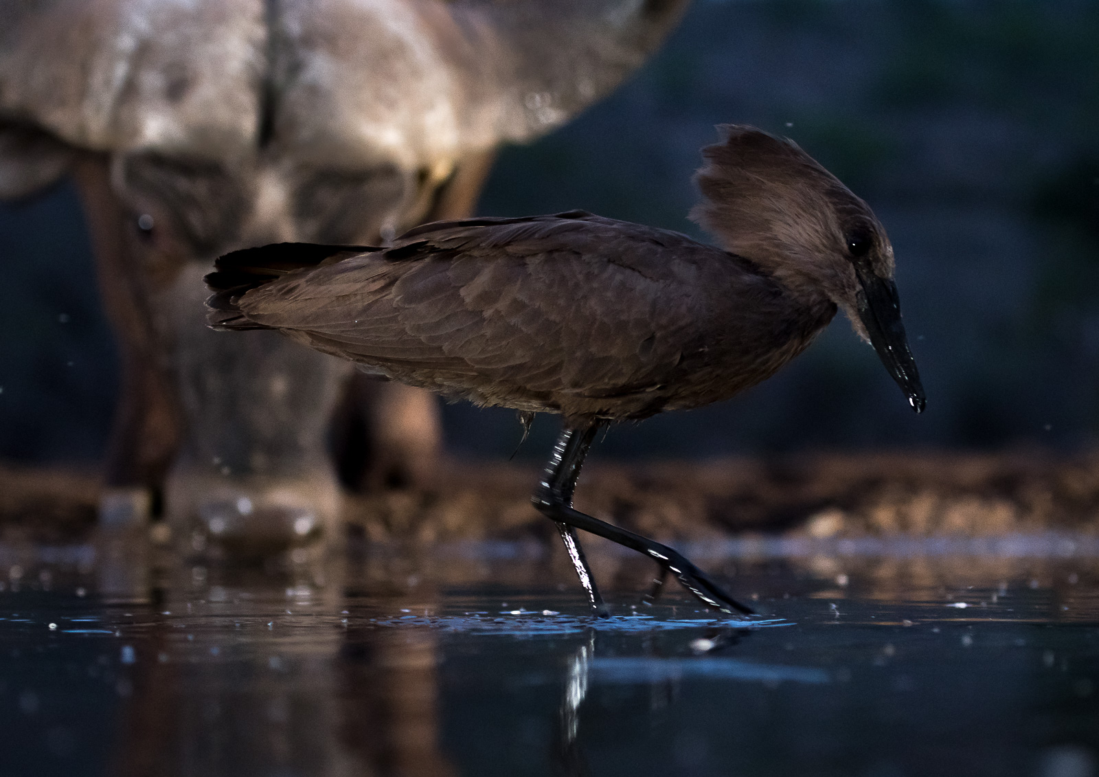 UMGODI: Hamerkop with Cape Buffalo in the background  Nikon D500 70-200mm f2.8 at 70mm. 1/200, f2.8, ISO1000