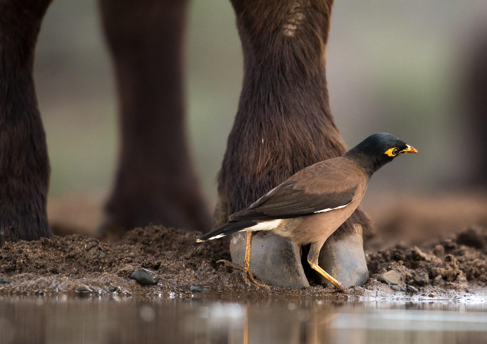 UMGODI: Indian minor treads lightly around a Cape Buffalo  Nikon D500 70-200mm f2.8 at 200mm. 1/640, f2.8, ISO640
