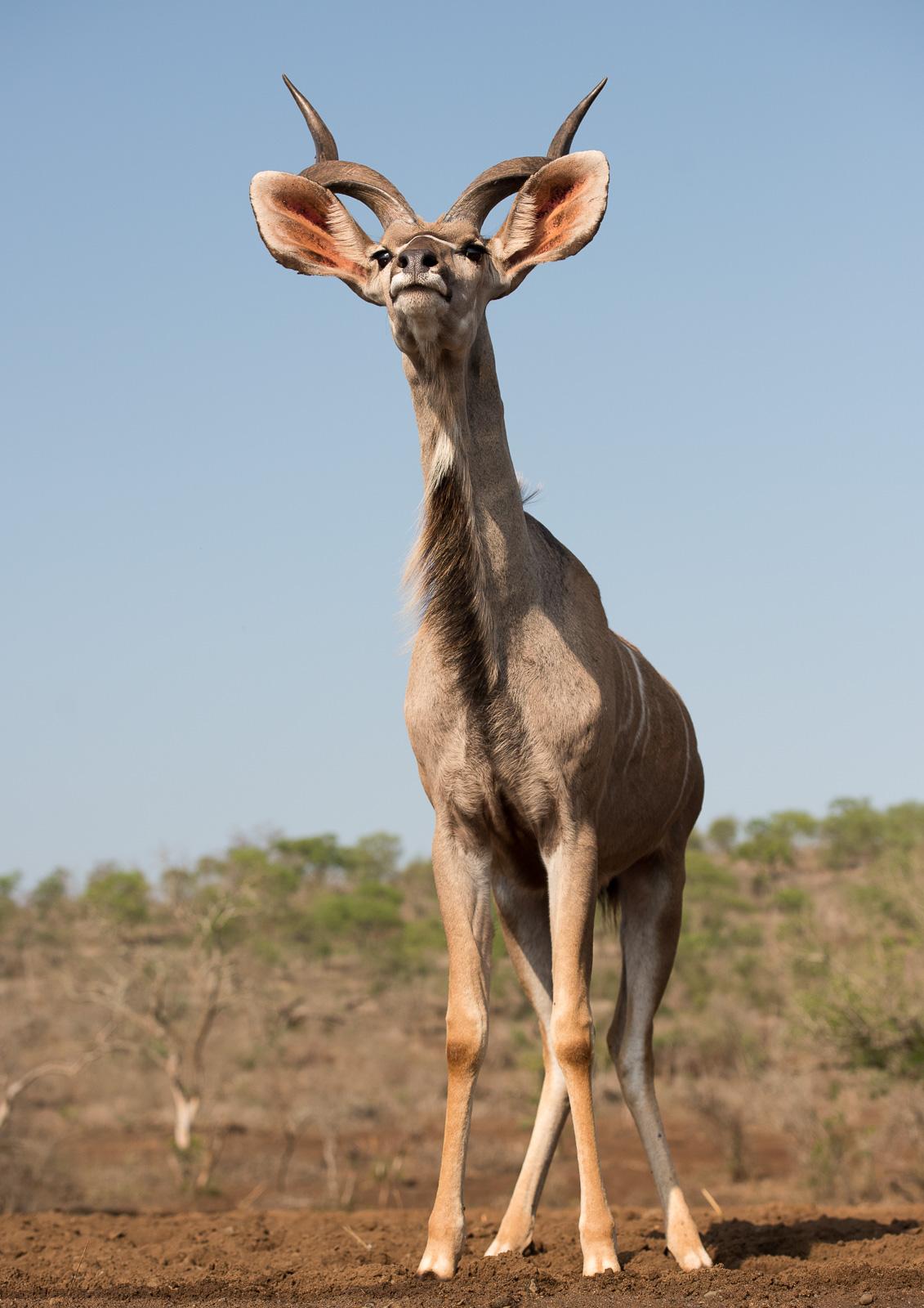 UMGODI: Male Kudu  Nikon D810 70-200mm f2.8 at 70mm. 1/1250, f5.0, ISO2000