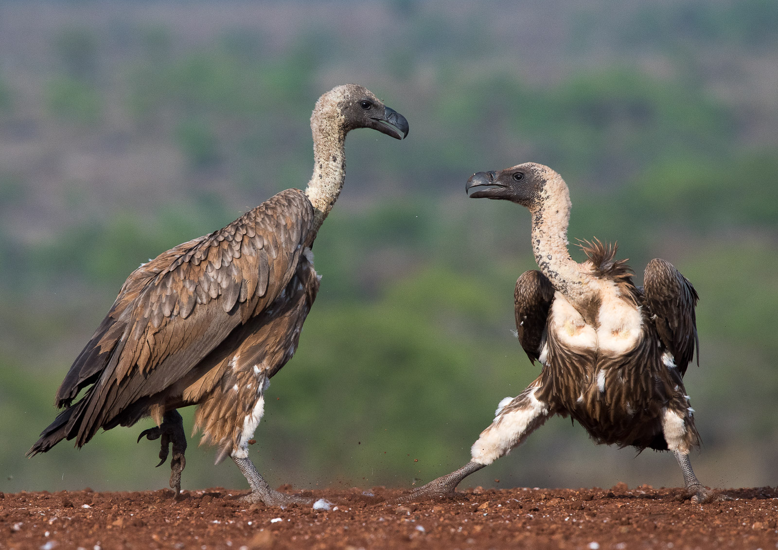 SCAVENGER: African White-backed Griffon Vulture  Nikon D810 300mm f4. 1/2000, f6.3, ISO400