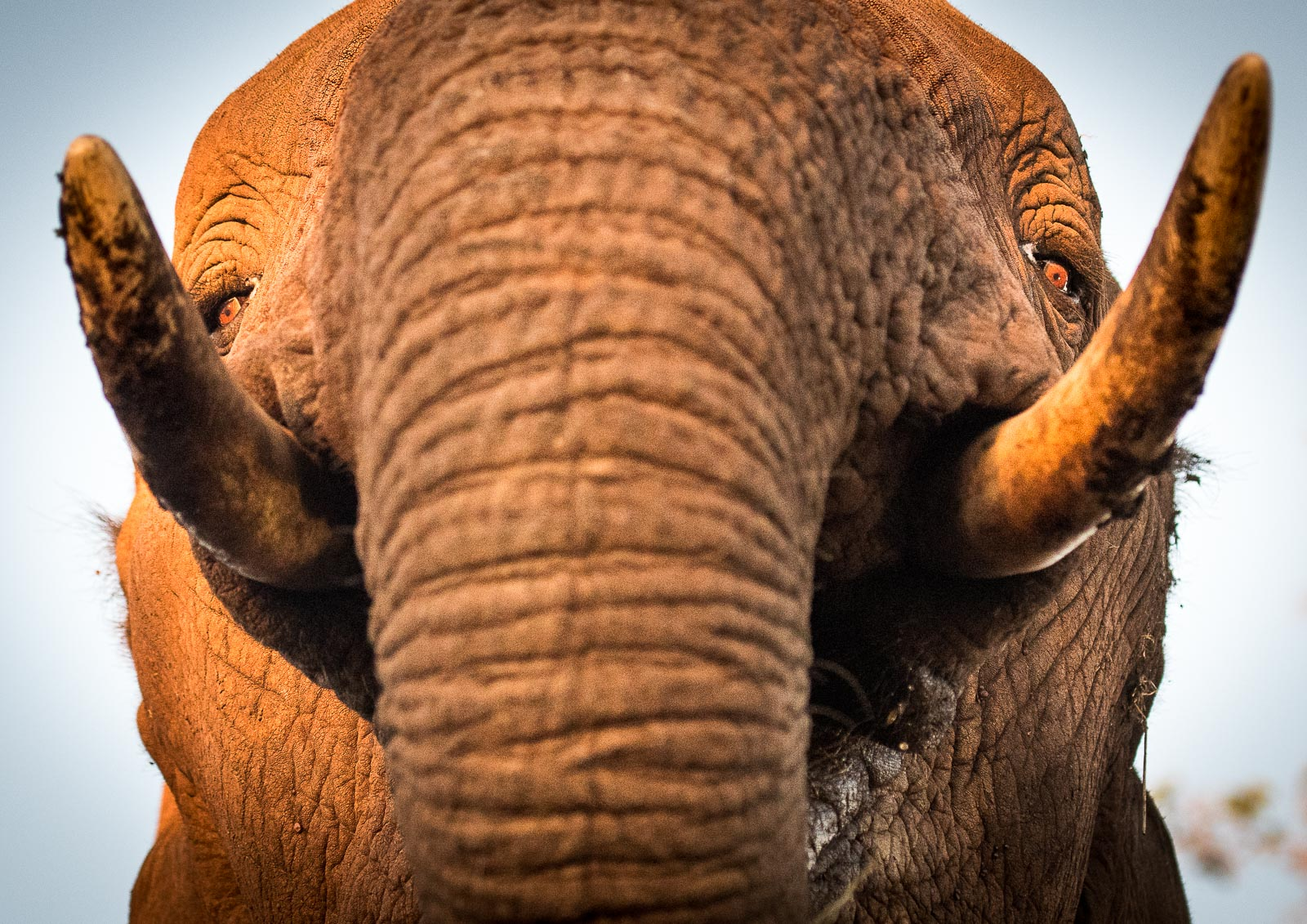 UMGODI: Elephant  Nikon D500 70-200mm f2.8 at 70mm. 1/800, f3.2, ISO2500