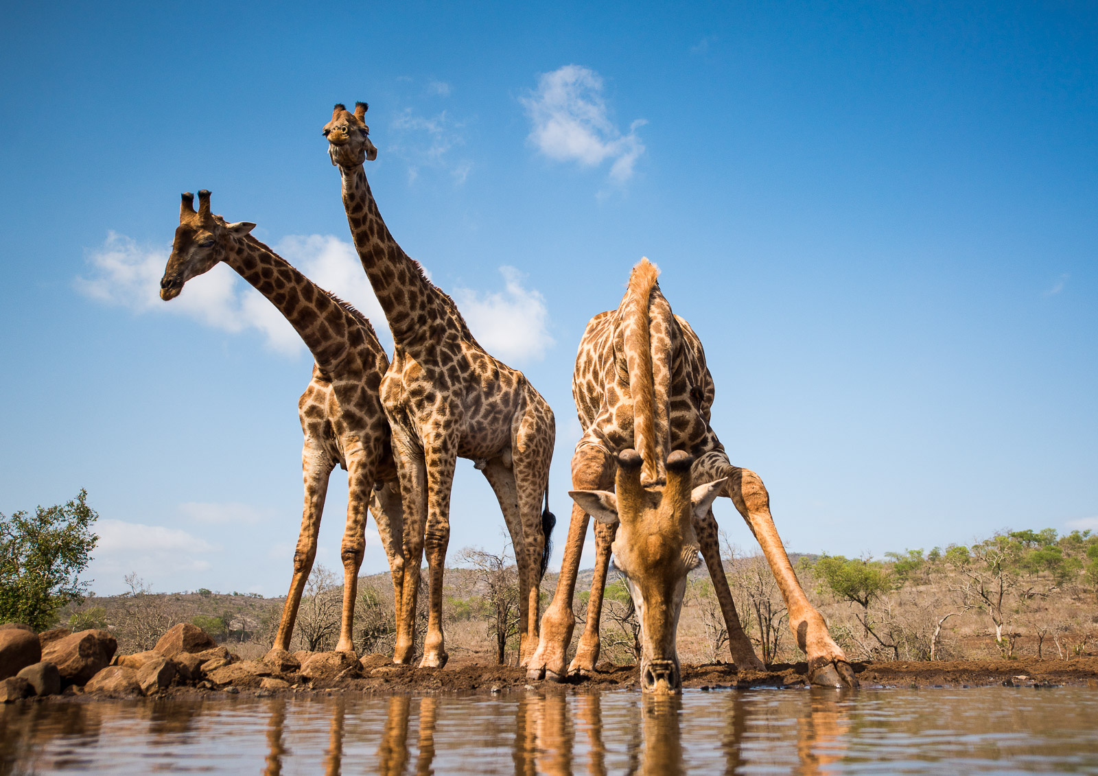 THIRSTY WORK A giraffe stoops to drink at the Umgodi waterhole while two others stand sentry, maybe! The perspective is exaggerated by the proximity of the drinking giraffe and use of a wide angle lens. It sent the adrenalin racing to be this close to these amazing creatures without their being aware. Zimanga Private Reserve, South Africa