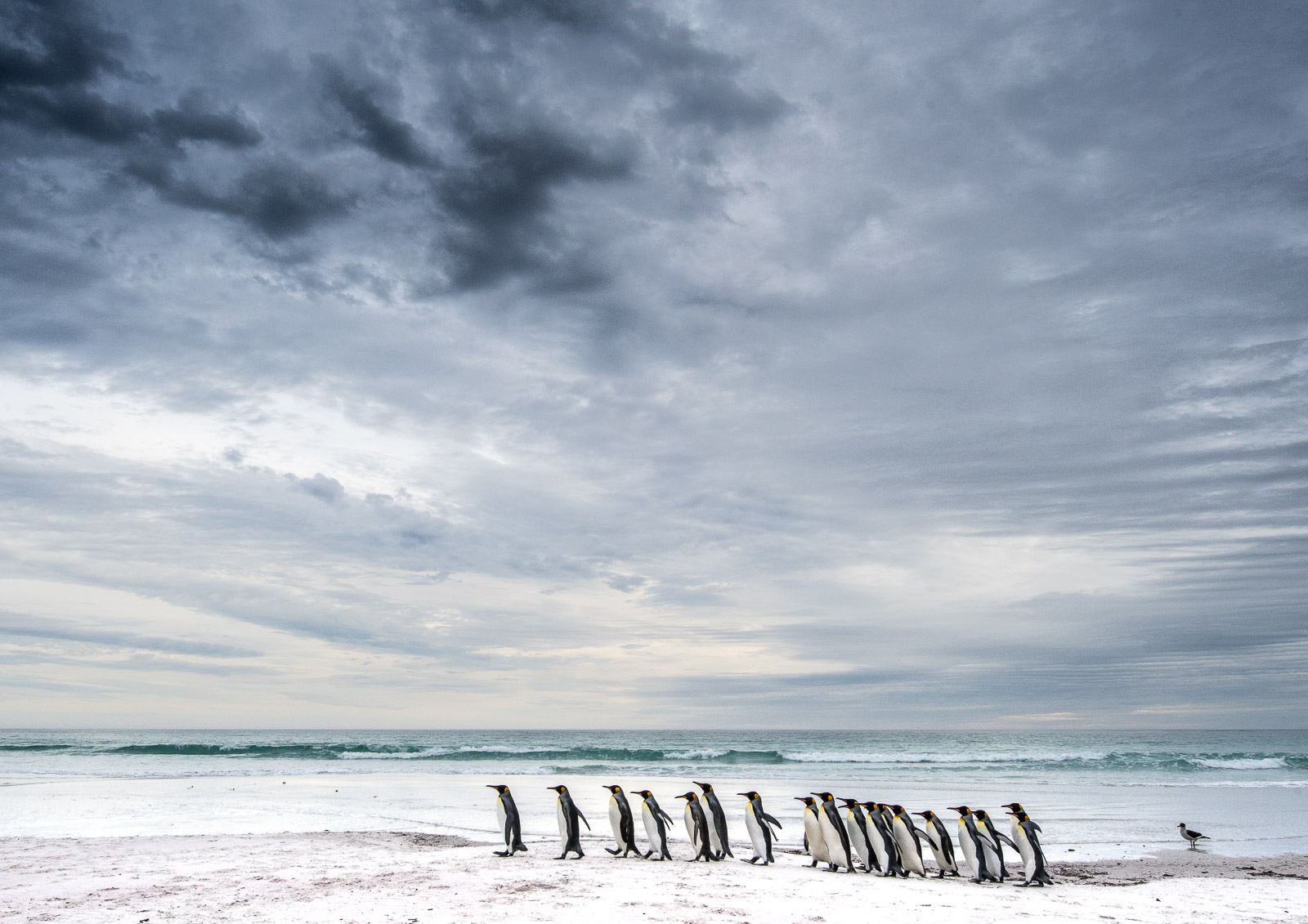 Decision Time : Post incident, a group of king penguins walk up and down the length of Volunteer Beach in the early morning, plucking up the courage to go to sea, where they know they may still encounter hungry sea lions.   Nikon D500 14-24mm f2.8 at 16mm. 1/160sec f18 ISO 800