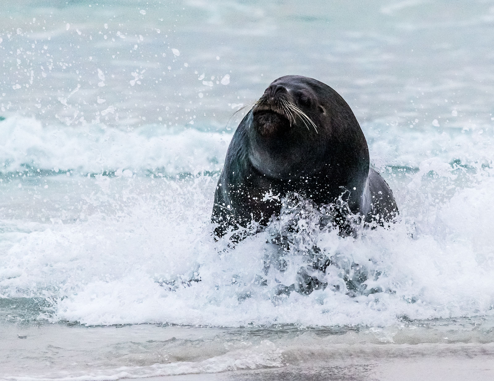 Bull sea lion emerging from the sea after a king penguin.   Nikon D500 300mm f4. 1/1000sec f5 ISO 3200