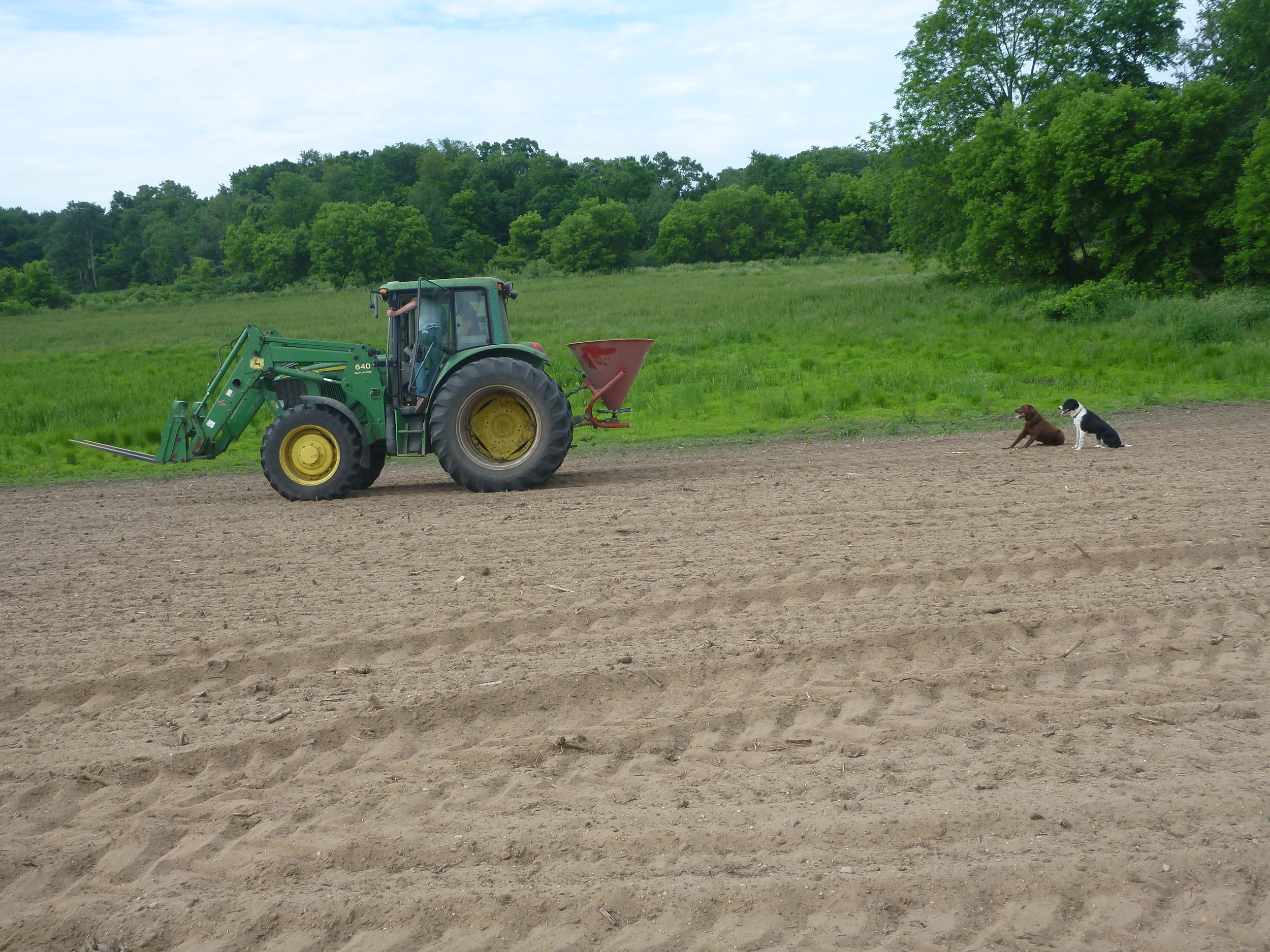 Planting the oats using the spreader.   You can see just how sandy the soil is in this parcel.  The dogs, though enthusiastic, were not helpful during this process at all.  The wetland (not yet planted) is visible in the background.