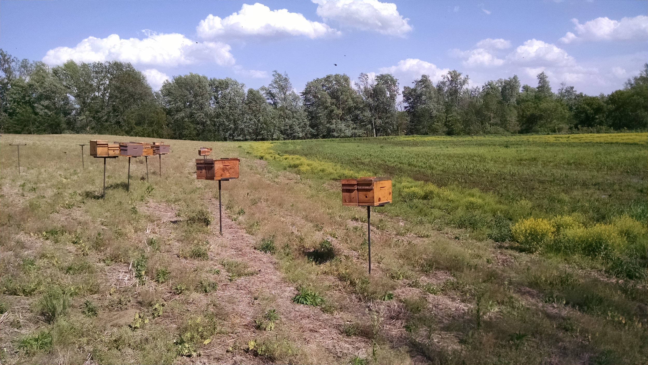 The nucs up and ready for cells!  The green part behind is wetland that is part of the restoration.  Frustratingly wet still - no planting date set.