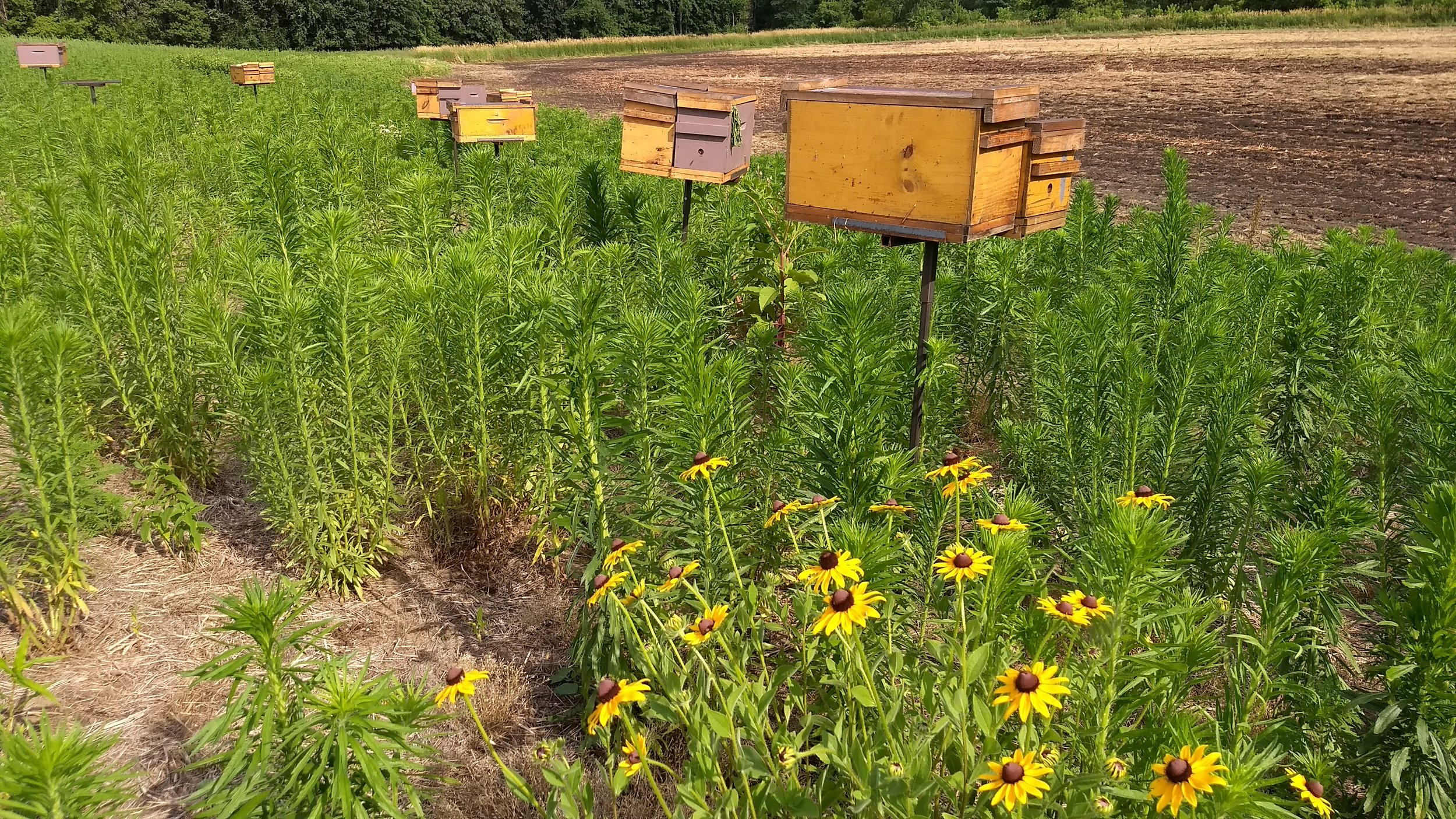 Rudbeckia with the honey bee mating nucs - hopefully it helps the queens find their way back!