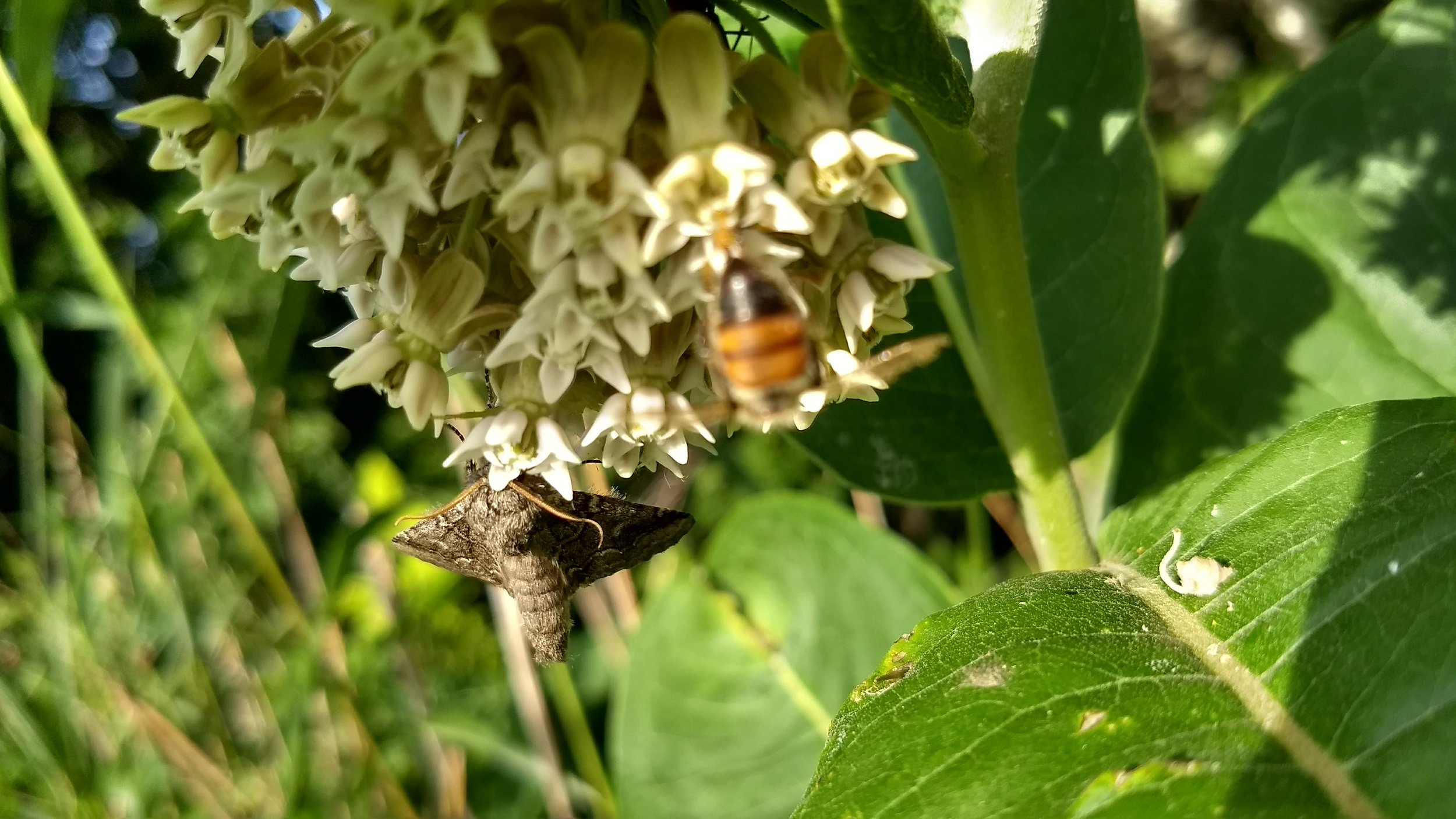 A moth and a honey bee fell victim to the sticky pollinia - trapped by the plant's pollen packets, they died in the blossom.
