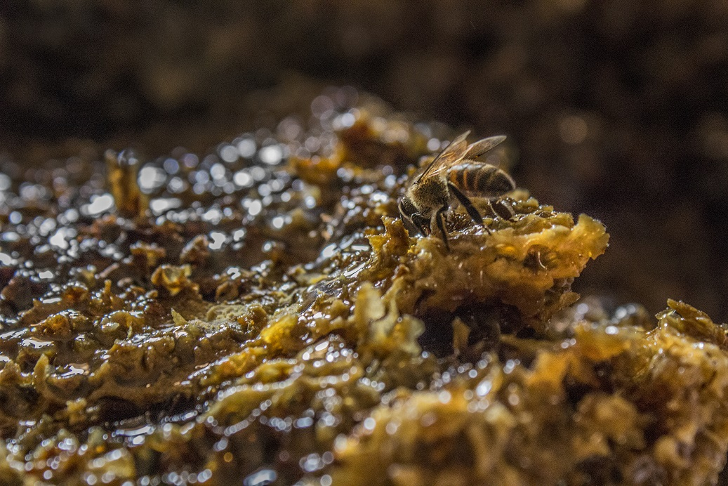 Bee on honey comb. Photo by Sarah B. Scott