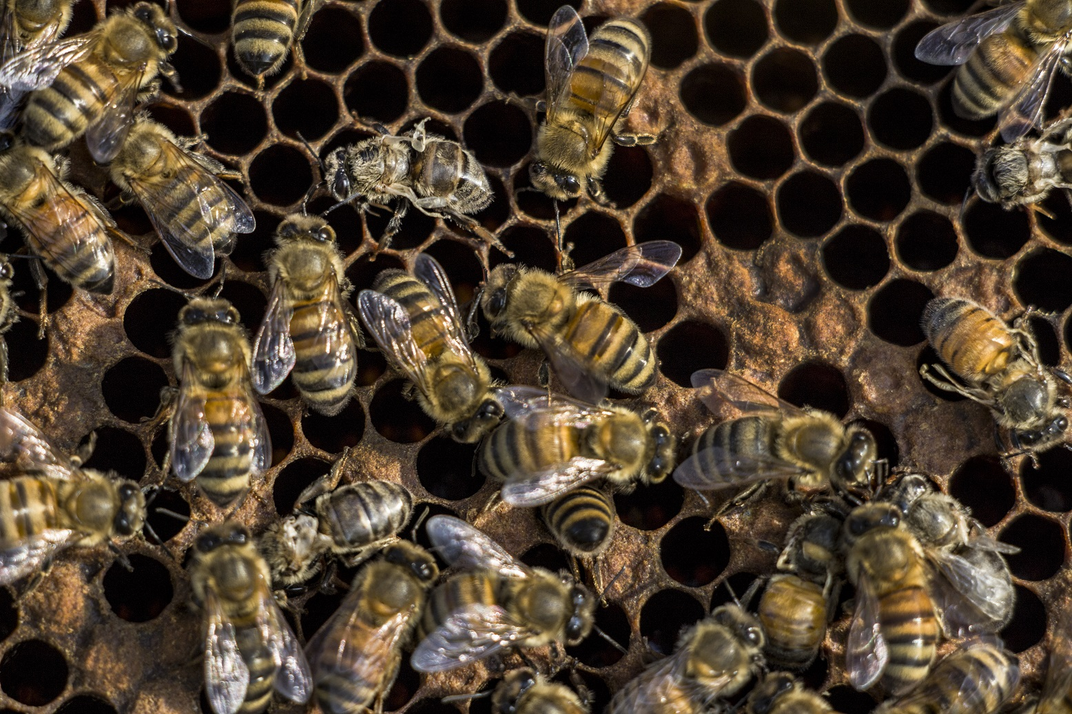 The goal is to keep varroa populations under control - BEFORE winter bees are made. These poor girls don't stand a chance on surviving a Michigan winter. Photo by Sarah B. Scott