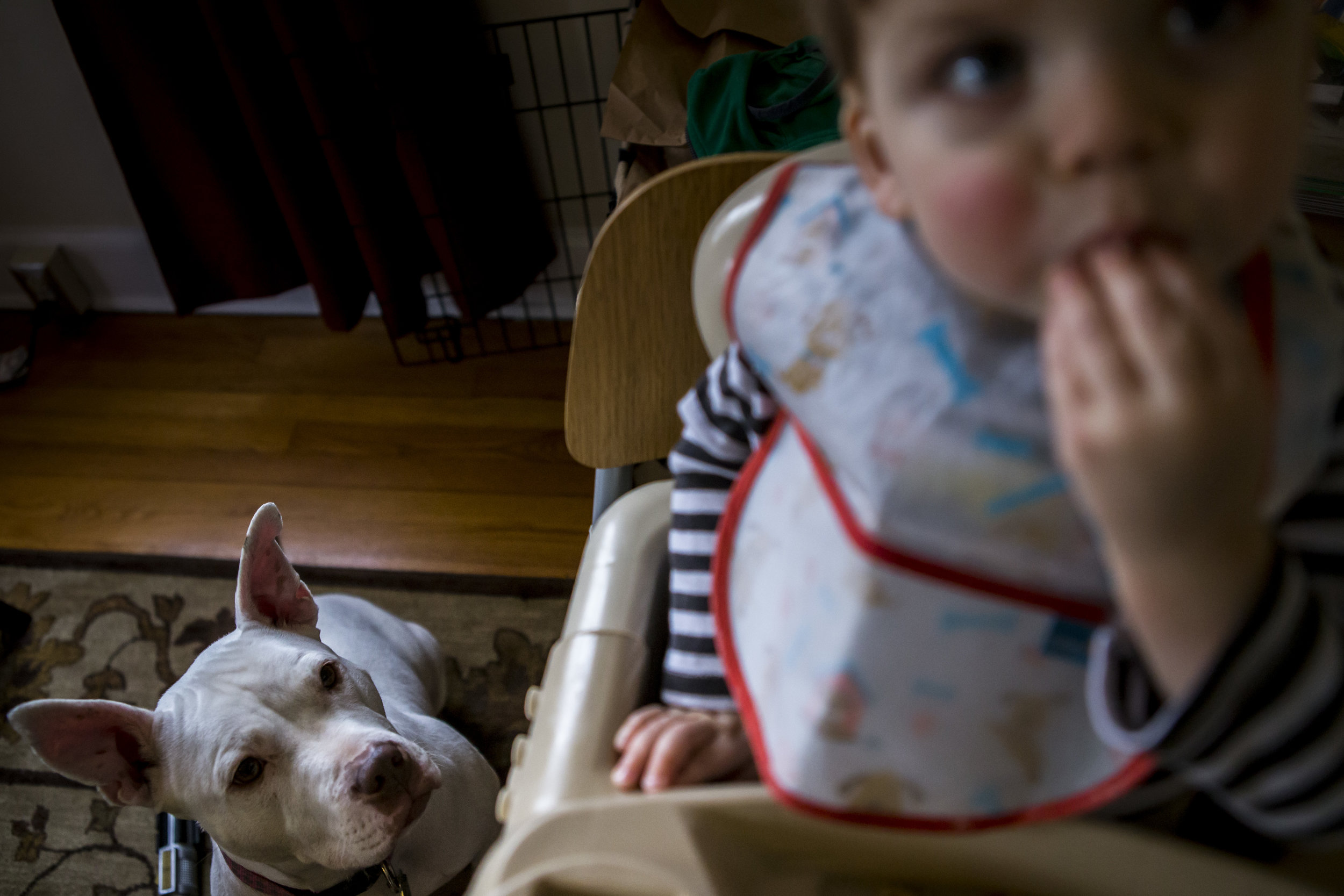 Authentic candid family photography in CT featuring pit bull dog watching toddler eat in high chair.