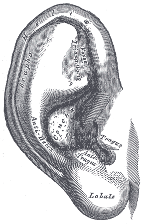 Figure 1. Anatomy of the pinna. From Wikimedia Commons.