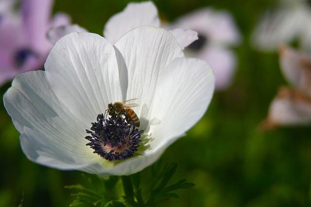 Anemone