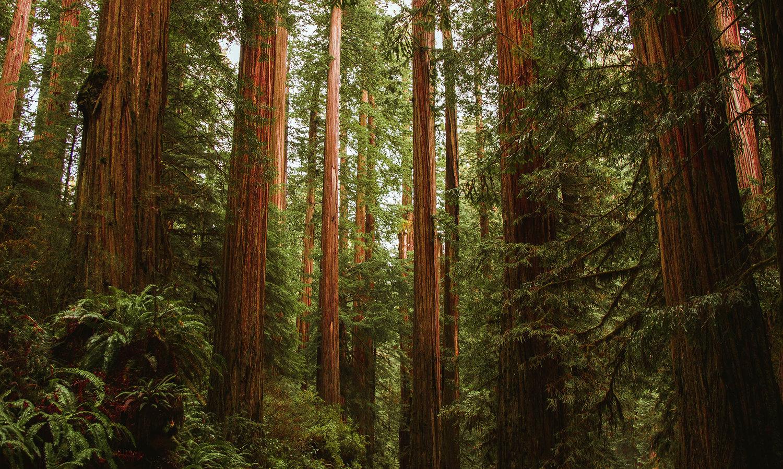 redwoods-banner.jpg