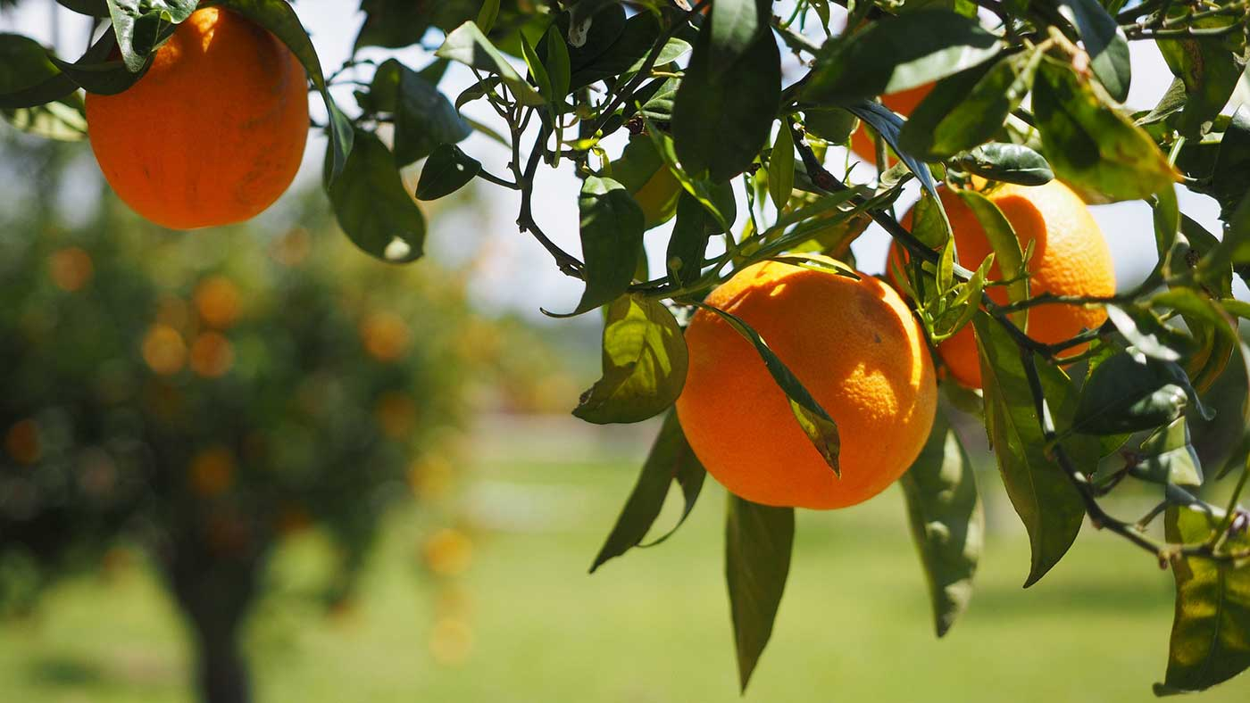 Citrus is a critical California specialty crop. Luckily for us, citrus crops such as orange, lemon, and grapefruit make delightfully light and refreshing meads and are prevalent in San Diego.