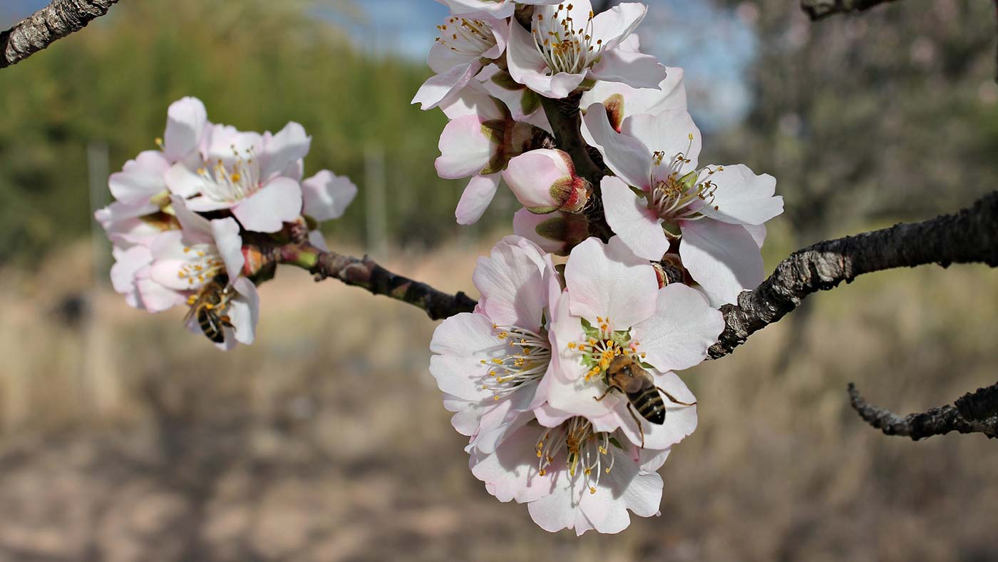 Bees pollinating almond flowers.
