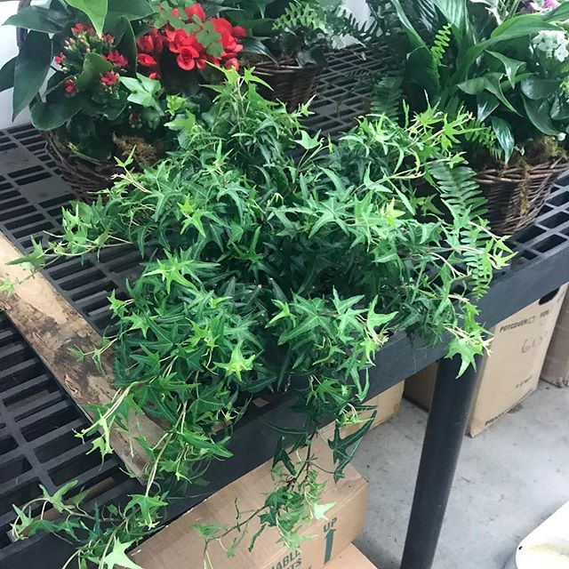 "Ivy.... sagittifoliae"" #ivy  #gardenlife #foliage #koolplant #homedecor #containergarden #urbangardener #urbangardenersrepublic #hedera #greenhouse #garden #picofday #instagarden #gardener #englishgarden #magical #randcfloral"