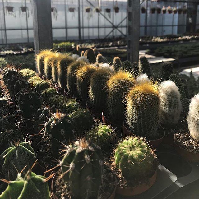 Sunbathing🌞🌞#urbangardenersrepublic #koolplant #containergardening #urbangardener #sunshine #homedecor #prick #prickly #cactusmagazine #plantaddiction #cactusaddict #cactus #greenthumb #lovethe cactus@cactusrepost #cactusgarden #plantstyling #urbangarden #randcfloral