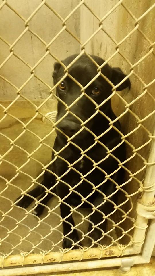 This black lab mix was in the municipal shelter in Big Spring, TX where residents are calling for reform due to the number of dogs being killed by the City.