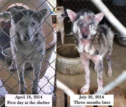Before and after pictures provided by Big Fluffy Dog Rescue. The group saved and rehabbed the dogs discovered in the animal control facility.