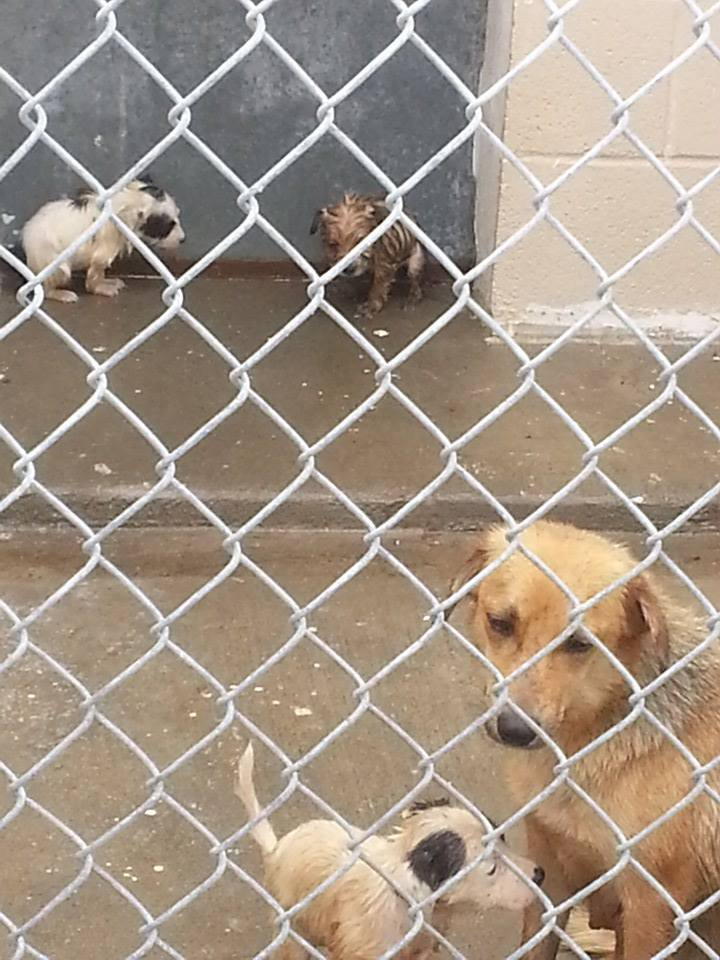 Mother and puppies hosed down with cold water on a chilly day shivering and wet at the Sinton Municipal Animal Control Shelter.
