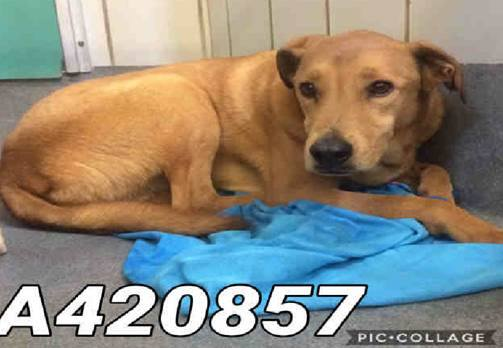 This poor lab is one of 82 dogs seized from a San Antonio area rescue this week.