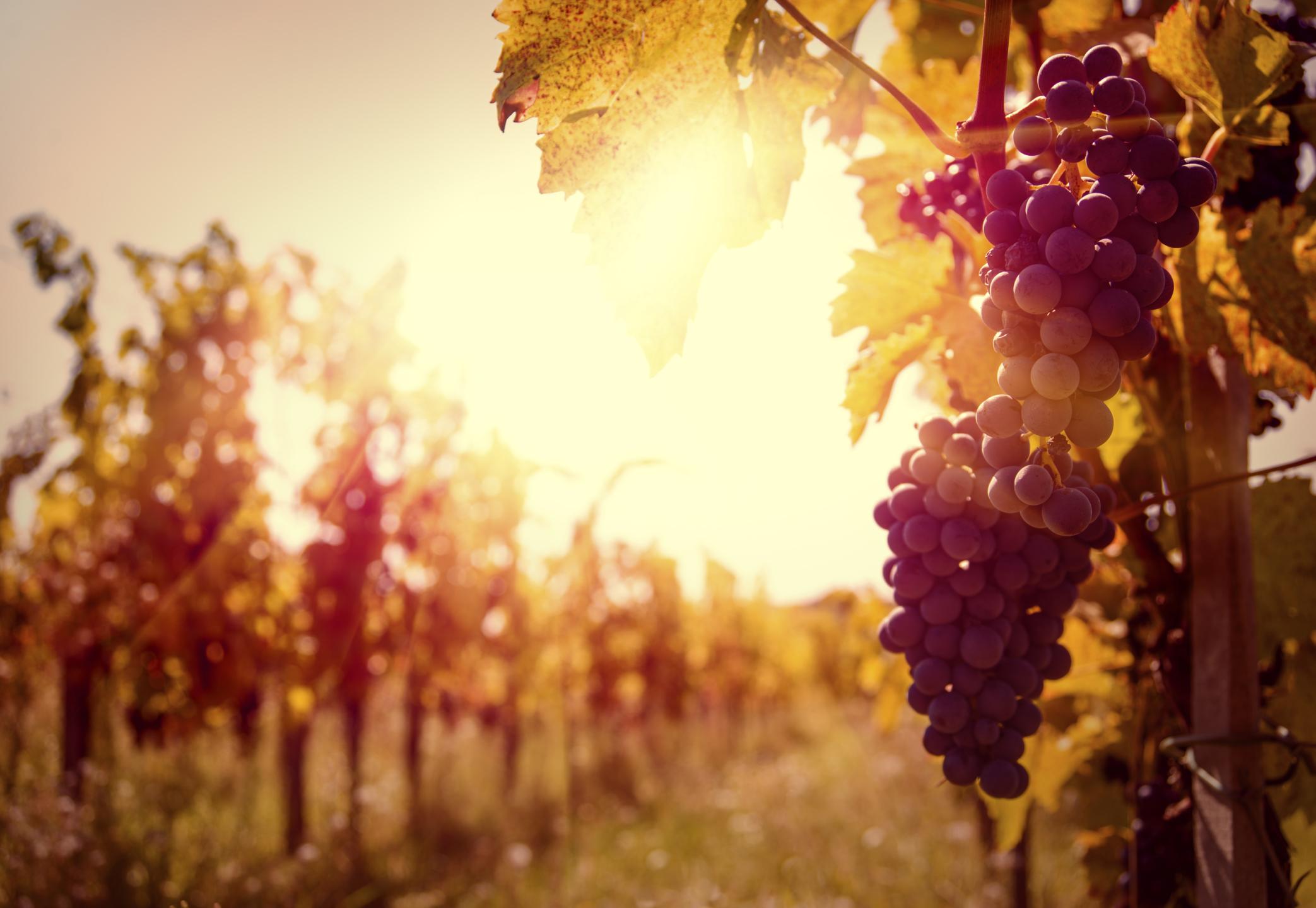 vineyard, vine and branches, John 15