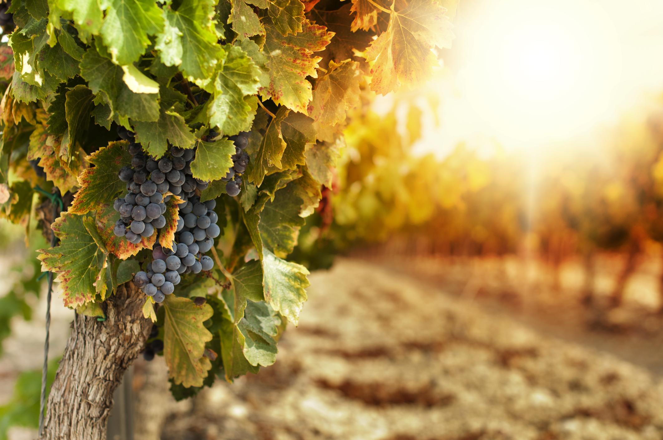 grape vine, vineyard, grapes, true vine