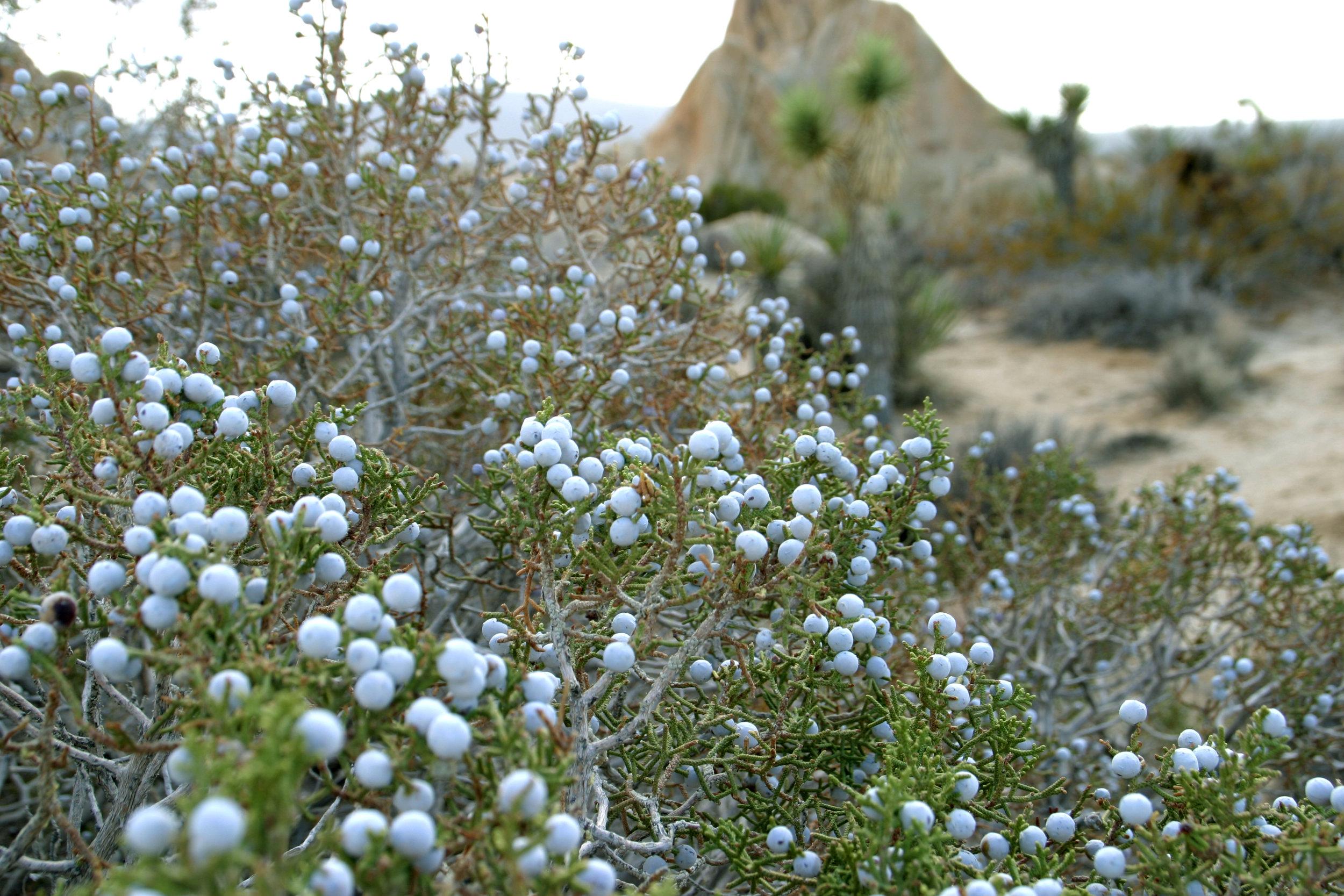 California juniper_Wikimedia Commons.jpg