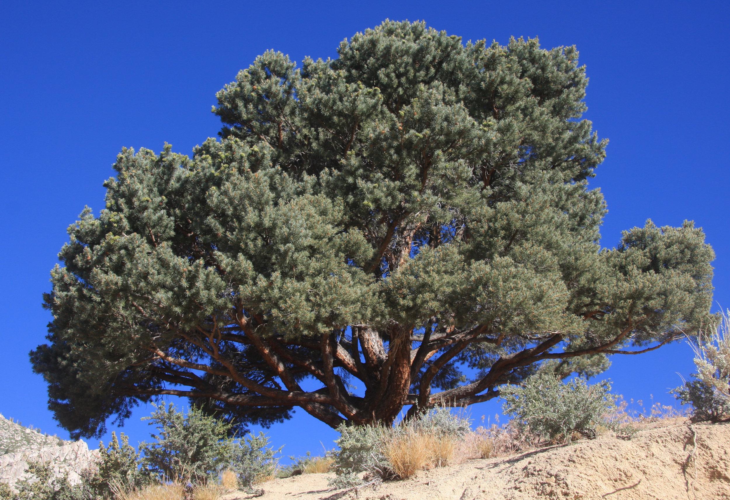 Pinyon pine_Wikimedia Commons.jpg