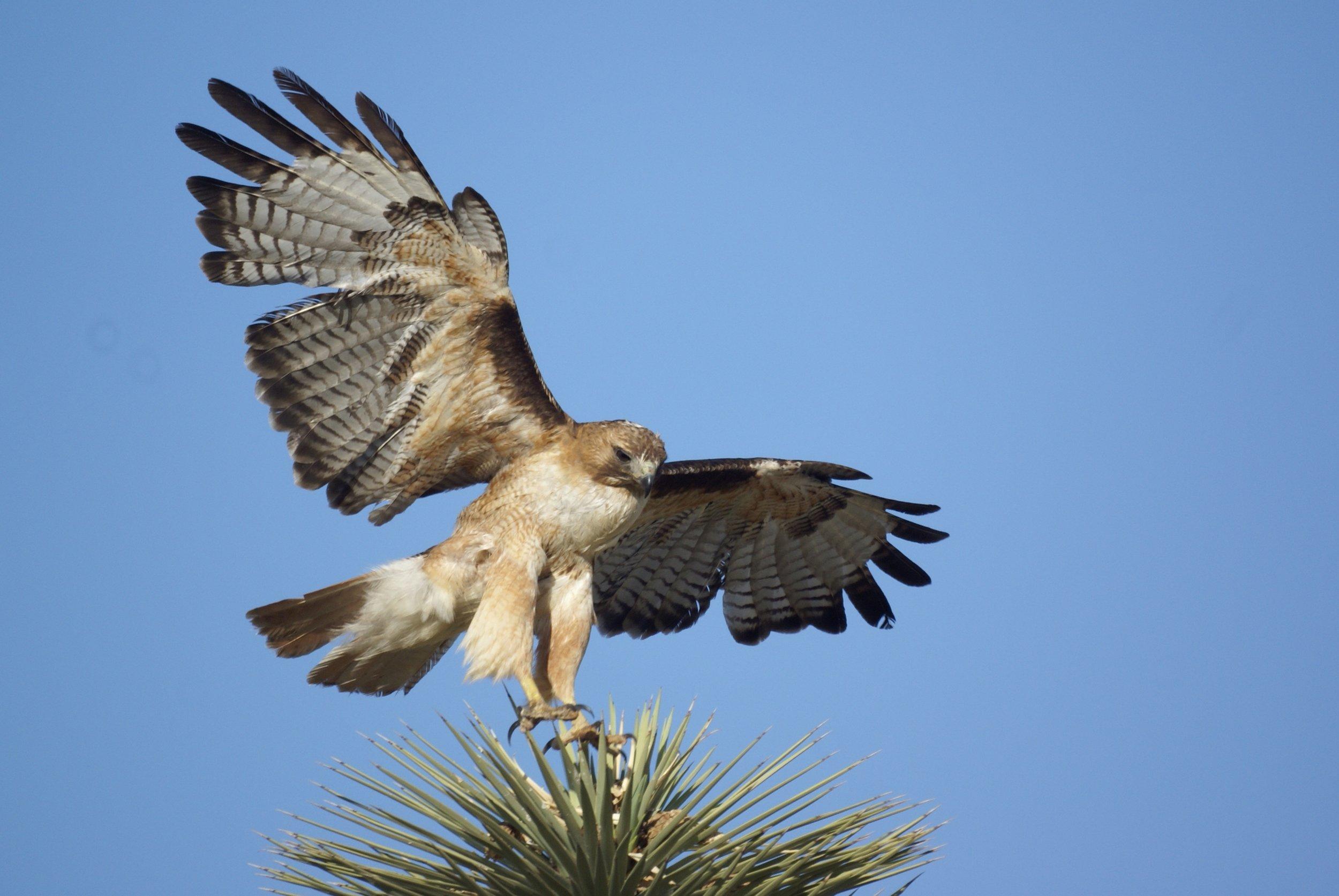 Red-tailed hawk_Julianne Koza.jpg