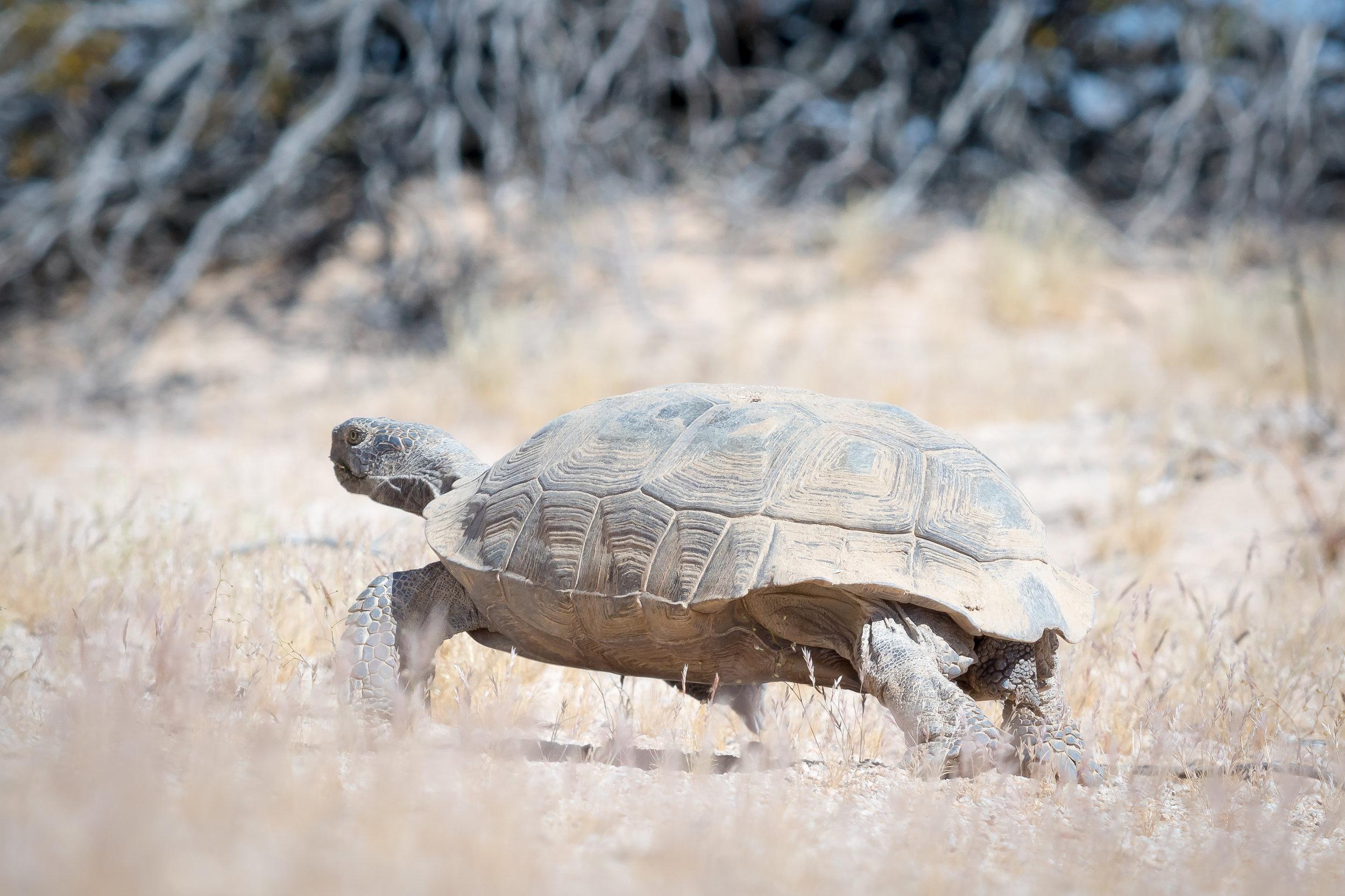 Desert tortoise_Bart Oud.jpg