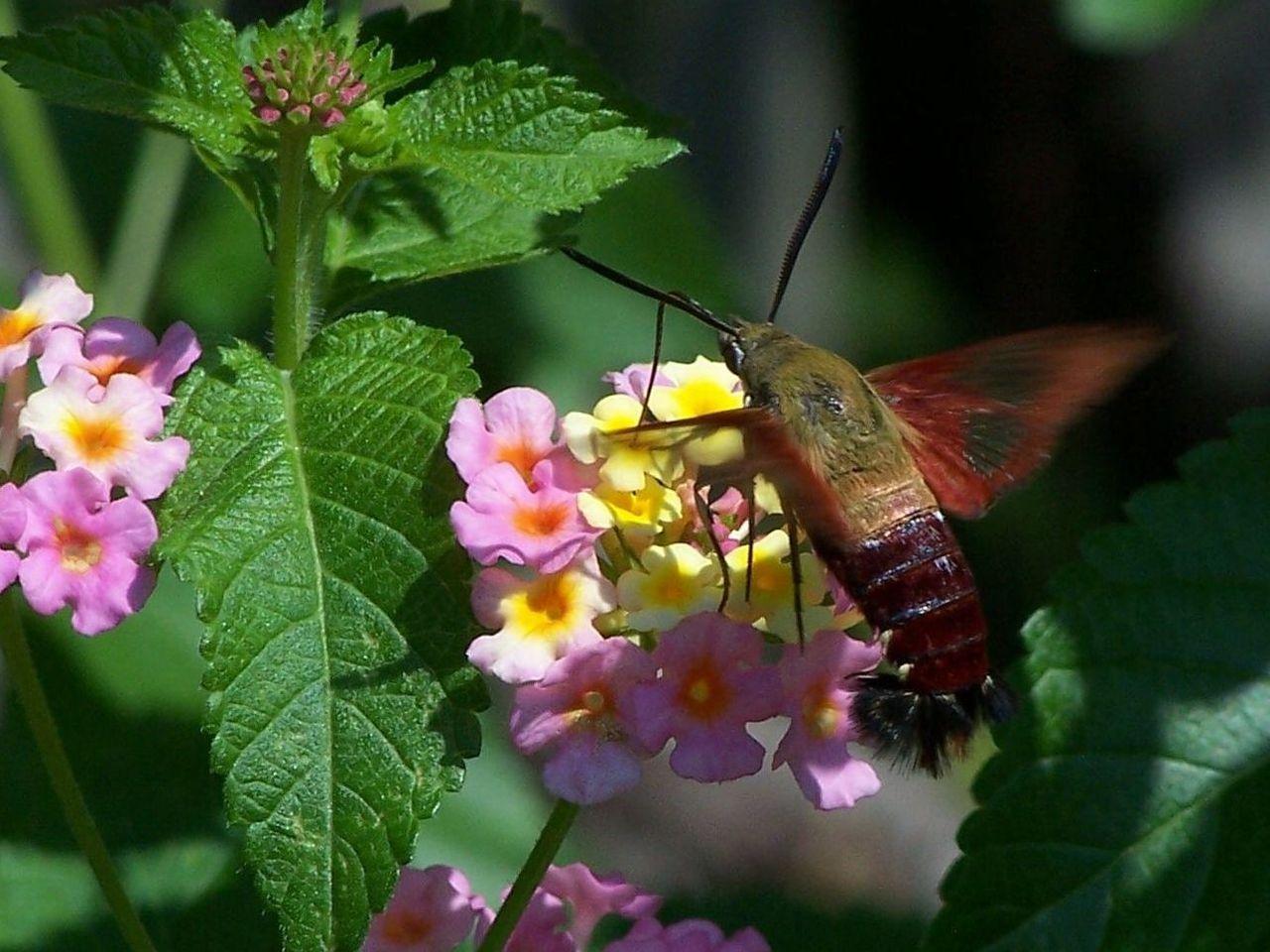 Sphinx moth_Wikimedia Commons.jpg