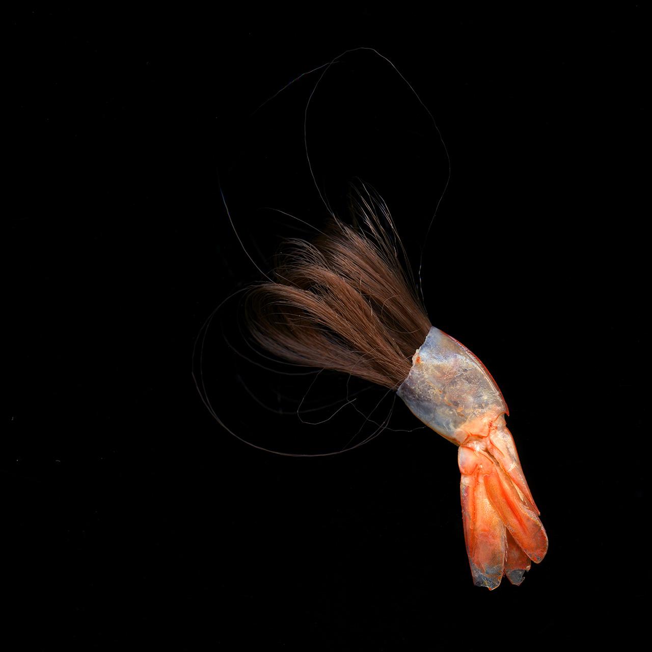 Hair Shrimptail.jpg