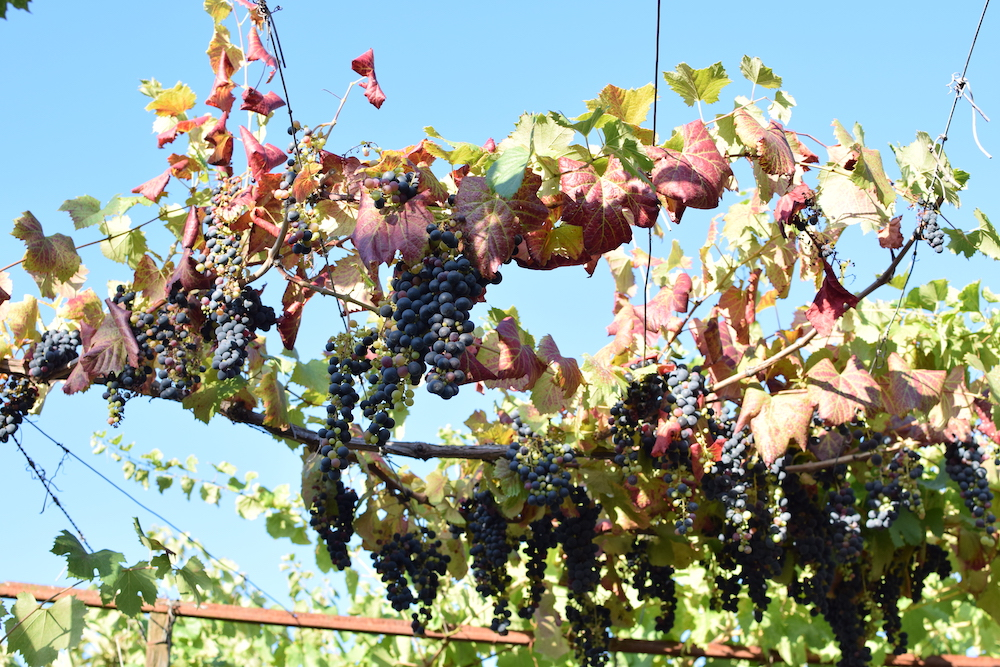 grapes-on-vines.JPG