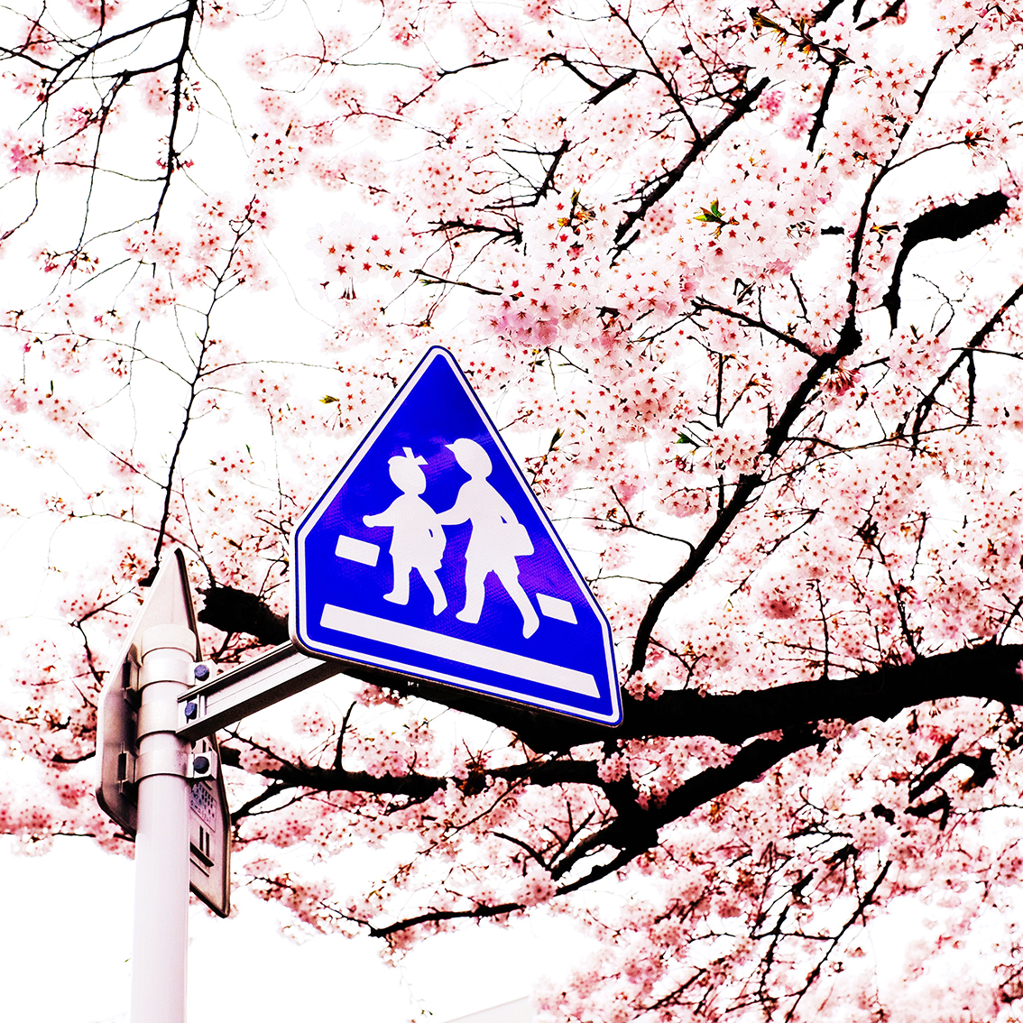 PedestrianSakura