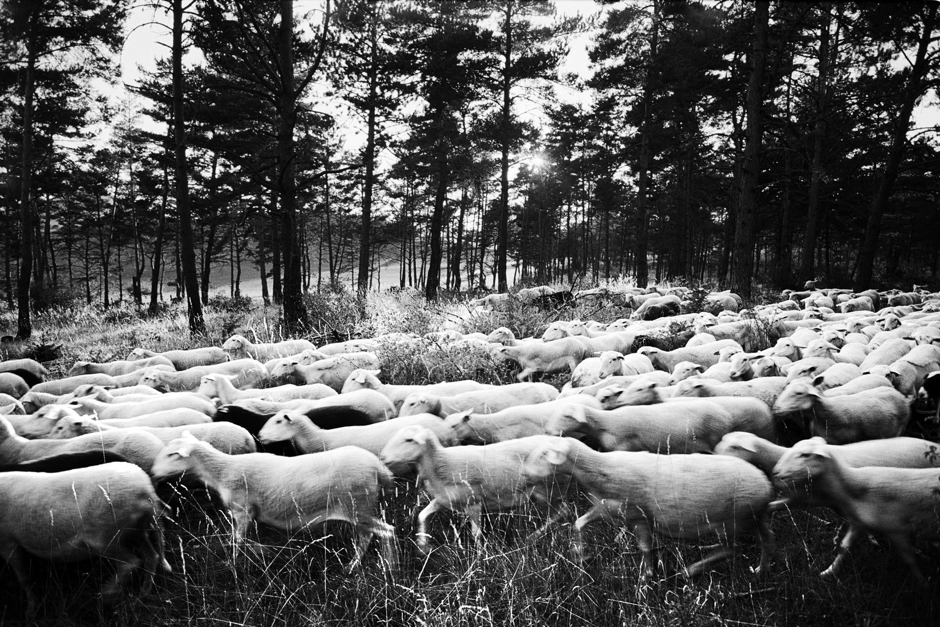 Troupeau d'Aurélien Gondouin, fils de Jean Louis et Christine Gondoin et petit fils de Marcel Gondouin, dit Tilou. Son exploitation composée principalement d'ovins, est la plus importante du village. Il a repris l'exploitation par choix, après un BTS « Production animale ».